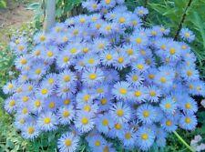 Seeds flower Erigeron speciosus Blue from Ukraine