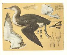 VINTAGE BIRD PRINT ~ BLACK THROATED DIVER