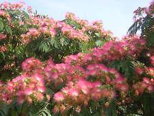 ALBIZIA JULIBRISSIN alveolo 1 pianta 1 plant Acacia di Costantinopoli