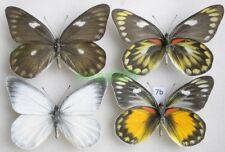 Delias zebuda (Hewitson, 1862) 2xpair Indonesia, Sulawesi7b