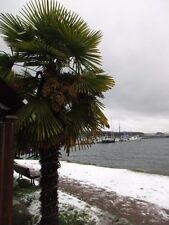 100 Hardy Trachycarpus fortunei Palm Seeds from Canada .  $15 International S&H