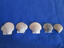 5 Tiny Scallop Sea Shell Fossils