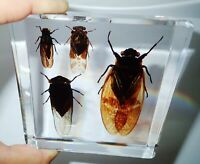4 Cicada Set Grass & Golden & Red & Black Cicada Clear Education Insect Specimen