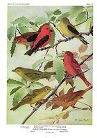 """1936 Vintage FUERTES BIRDS #87 """"SCARLET, SUMMER TANAGER"""" Color Plate Lithograph"""