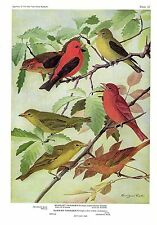 "1936 Vintage FUERTES BIRDS #87 ""SCARLET, SUMMER TANAGER"" Color Plate Lithograph"