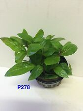 Exotic Live Fresh Water Aquatic Potted Plant Staurogyne repens P278