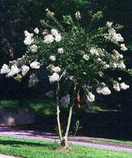 "15 Crape Myrtle ""Natchez"" 6"" - 8"" Unrooted Cuttings, Specimen, Bonsai"