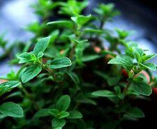 Oregano Seeds- Italian- Herb Seeds- 300+ seeds         $1.69 Max Shipping/order