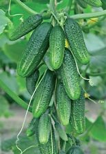 Seeds organic Cucumber Bushes compact from Ukraine