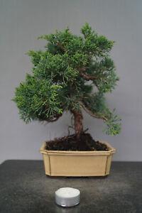 Bonsai  Wacholder Juniperus chinensis Nr 3042 Pre Bonsai immergrün