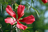 Der scharlachrote Hibiskus hat zauberhaft schöne Blüten.