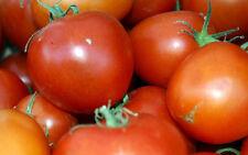 TOMATE STUPICE 10 Samen Solanum Lycopersicum Buschtomate ursprüngliche Sorte