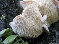 Auricularia auricula-judae dry grain mycelium 10 g or 30 g