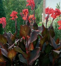 CANNA LILY BULB RED  FLOWERS TALL DARK RED FLOWERS