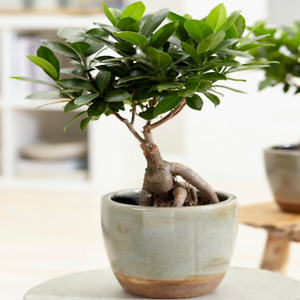 Ficus Ginseng Indoor Decorative Chinese Bonsai Live Houseplant in 12cm Pot