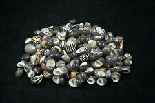 150+ Beautiful Zebra Snails Nerites Shells Sea Shell Seashell 4 OZ Bag