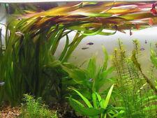 vallisneria gigantea  3 pieds plante aquarium facile