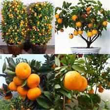 Lot 30X Edible Fruit Mandarin Citrus Orange Bonsai Tree Seeds Plants Home Garden