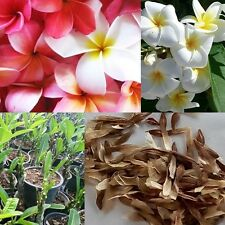 40 FRANGIPANI MIXED PLUMERIA RUBRA LEI FLOWER TEMPLE TREE SEEDS