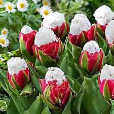 Rare 200pc Red White Jumbo Tulip Seed Flower Seeds Home Garden Plant Decoration