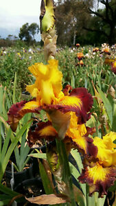 * CLEARING SALE * TALL BEARDED IRIS - *AZTEC ART* - RUFFLED WITH MUSKY FRAGRANCE