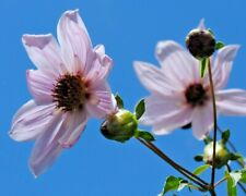 Selten - 10 Samen Dahlia australis - Dahlia seeds