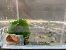 4 Blue Bolt Shrimp