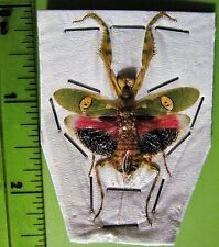 Lot of 2 Beautiful Jeweled  Flower Mantis Creobroter gemmatus Female Spread FAST