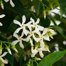 Star Jasmine Evergreen Woody Vines Scent Hardy Flowering Climbing Twining Plant