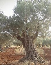"3 X Olive Tree Cuttings, ""suri"" , Holy Land"
