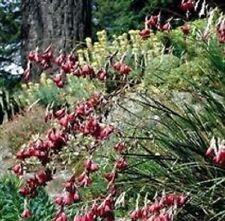 Dierama - Pulcherrimum - 10 Seeds