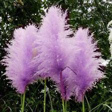 500 SEMI Rari Semi della viola Pampas Erba, Piante ornamentali