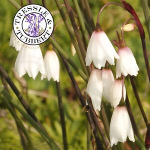 Rare Acis Autumnalis 10 seeds UK SELLER
