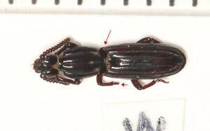 Rhysodidae sp.  WEST YUNNAN (1)