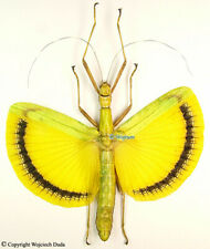 Tagesoidea Nigrofasciata - female, beautiful!!! spread specimen!