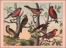 Crossbill, Grosbeak, Finch Birds, Fine Chromolithograph, Print, Original 1887