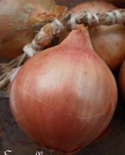 N109 keravel Pink Onion Seeds Allium cepa Ruz Tan 60 Seeds Onion de Roscoff