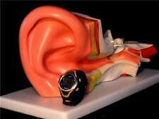 3xLIFE SIZE Human Anatomical Skeleton Anatomy Ear Model