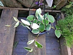 HOYA Carnosa - 'KRIMSON QUEEN' Mature Wax Plant - Variegated