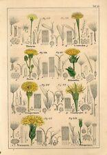 1842 BRIGHTEYE MEADOW GOAT'S-BEARD HAWKBIT FLOWERS Hand/Colored Print Petermann