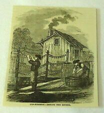 1877 magazine engraving ~ Cod-Fishing, Drying the Sounds