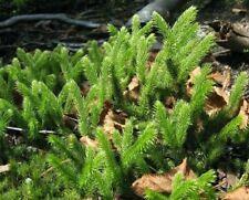 10 Lycopodium Clavatum Clubmoss Evergreen Groundcover, Terrariums 'Fairy Gardens