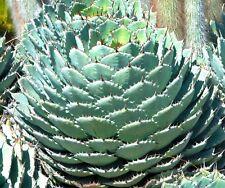 5 agave Verschaffeltii (Compact Form) semi Seeds korn no Varioegated