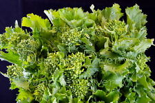 Earl Fall Rapini Italian Broccoli Heirloom Organic 200+ NON-GMO Open Pollinated