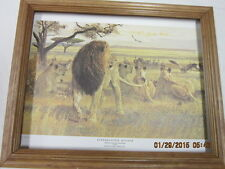 African Lion hunting picture Framed collectible