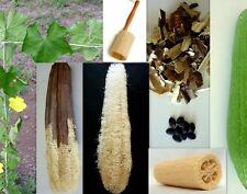 LUFFA GOURD Seeds - Gourd Luffa Sponge - Chinese Okra - 10 Seeds