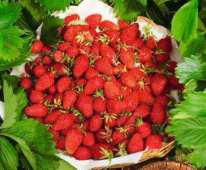 Seeds Strawberry Aleksandria Everbearing Indoor Wild Heirloom Organic Ukraine