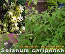 Solanum caripense, Mini-Pepino, Tzimbalo, 20 Samen