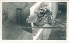 Real photo Tiger in bath