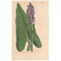 Curtis Botanical Magazine antique 1809 hand-colored engraving Pl 1156 Pontederia